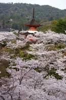 宮島も桜が満開、多宝塔 周辺からの景色が美しい