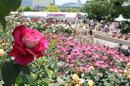 福山ばら祭、70万本が満開でバラの香りに包まれる