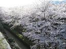 大竹市 亀居公園の 桜が満開! 広島県でいちばん端の隠れ名所