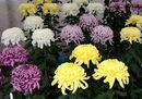 広島城大菊花展 スタート、色鮮やかな2000本の菊の見頃は11月初旬