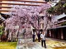 普門寺の桜が満開へ!しだれ桜が美しい