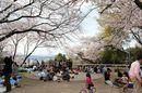 比治山公園の 桜が満開に!お花見BBQもできるスポット