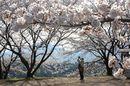 廿日市の町並みを見下ろす桜の花園・大田神社と、桜並木道