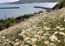 因島の除虫菊、港を見下ろす白い花のじゅうたん