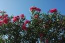 キョウチクトウ(夾竹桃)、広島 復興の象徴が満開
