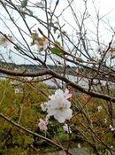 ヒカンザクラ(寒緋桜)、秋の桜が 広島でチラホラ咲く風景