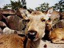 宮島の鹿コレクション画像16選、時々タヌキ