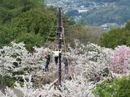 広島市森林公園の春、桜と山を白く染めるタムシバの風景