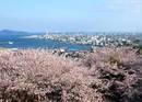大竹市 亀居公園の桜が満開!城跡からの展望が気持ちいい桜スポット