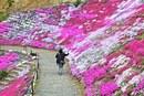 ふくろうの花畑で芝桜が見頃、福山・田島にピンクのじゅうたん