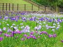 広島県立みよし公園、35000株の菖蒲園は隠れた和の散策道
