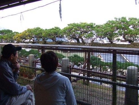 宮島 塔之岡茶屋の目の前にある 龍髯の松2