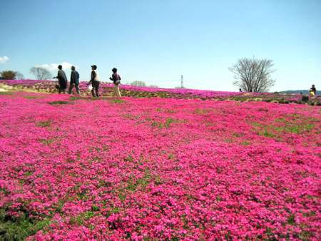 花夢の里 ロクタン、芝桜が咲き誇る