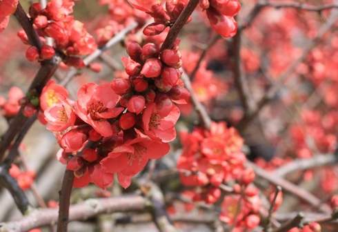 三景園 ボケの花