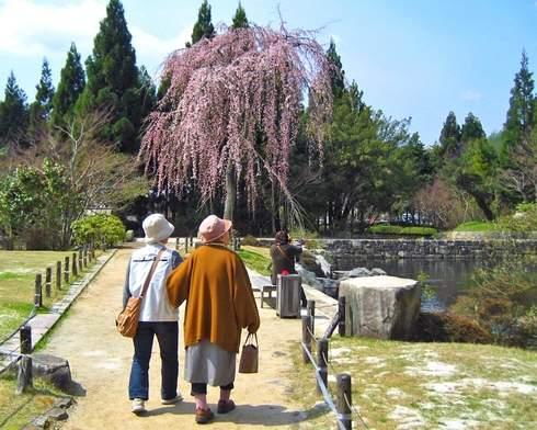 三景園の桜
