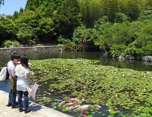 三景園、睡蓮が美しく