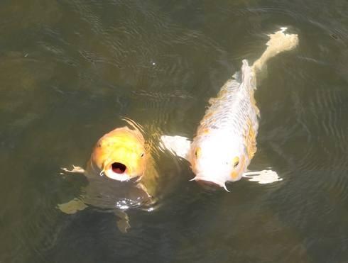 三景園の鯉、ちょうだいアピール