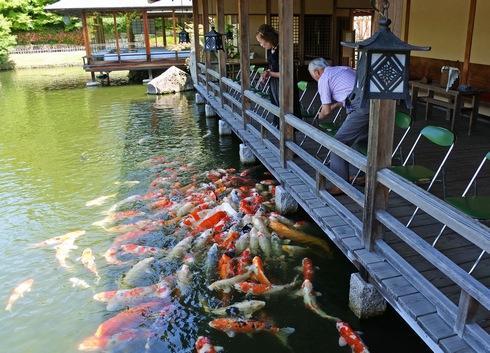 三景園の鯉が太い