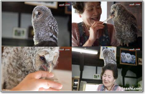 フクロウの里親 おばあちゃん 20年ヒナを育て続ける