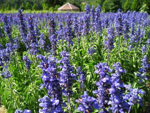 世羅高原農場 サルビアの花2