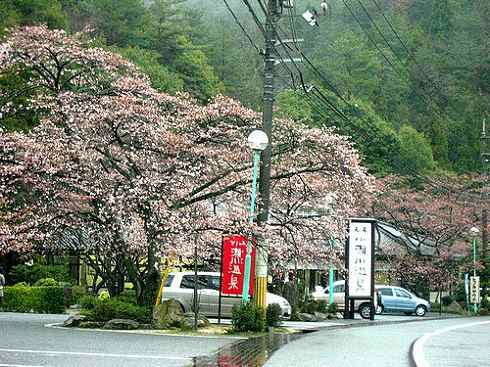 広島 小瀬川温泉 桜の景色
