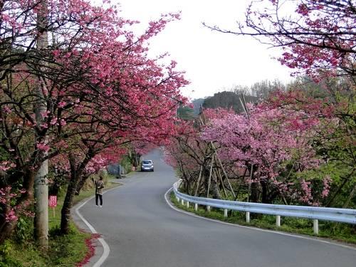 沖縄の桜 ヒカンザクラ 桜祭り