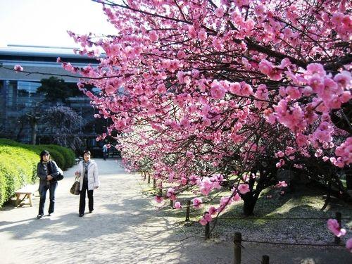 広島 縮景園の梅の花がまさに見頃