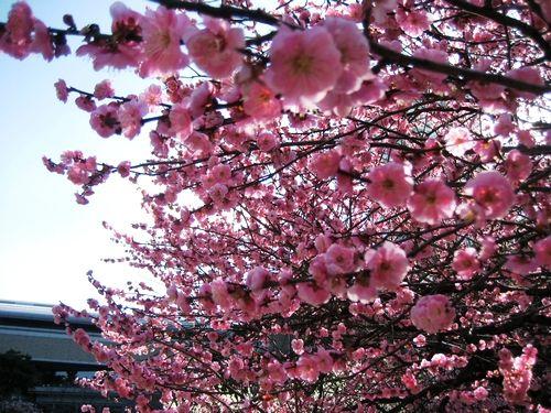 梅の後には、桜が間もなく
