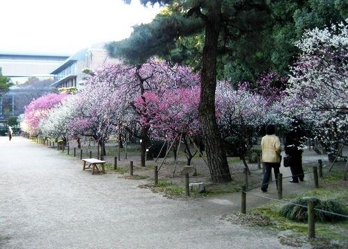 広島 梅の花 今まさに見頃へ