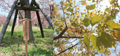 広島 造幣局 花のまわりみち 画像1