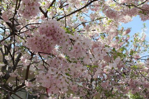 広島 造幣局 花のまわりみち 画像10