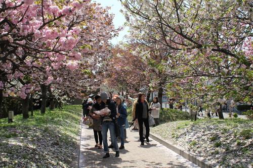 広島造幣局 花のまわりみち(通り抜け)、2011年は59種の八重桜が咲き乱れ