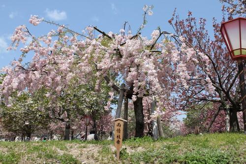 広島 造幣局 花のまわりみち 画像16