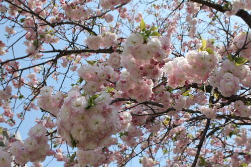 広島 造幣局 花のまわりみち 画像23