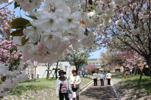 広島 造幣局 花のまわりみち 画像9