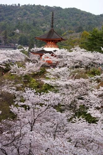 宮島も桜が満開、多宝塔