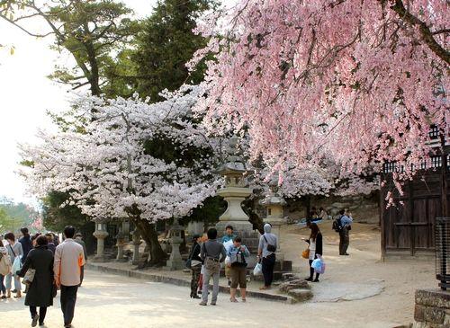 宮島の景色と桜を楽しむ人々