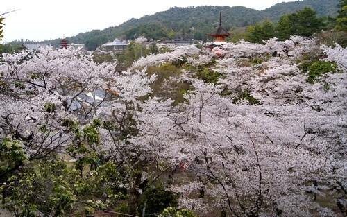 宮島 多宝塔からのお花見