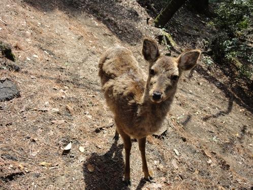 宮島の鹿 画像6