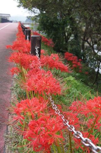 彼岸花(ヒガンバナ) で秋色に染まる尾道市御調町