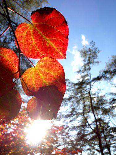 色づく べにまんさく(丸葉の木、紅満作)大野自然観察の森
