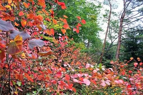 色づく べにまんさく(丸葉の木、紅満作)