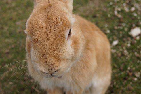 うさぎ島 大久野島のウサギ