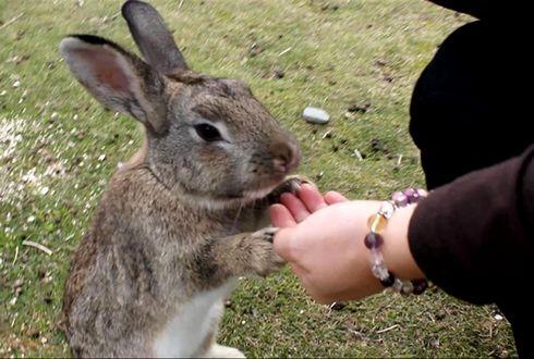 うさぎ島 大久野島 手乗りウサギ