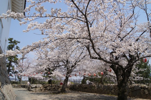 福山城の桜(お花見スポット) 画像7