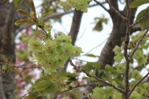 広島 造幣局の桜の通り抜け(花のまわりみち)2012 今年の桜