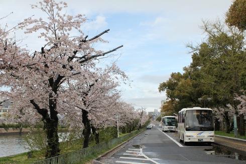 広島平和公園 桜の画像6