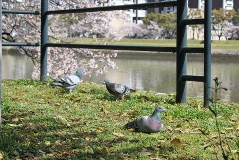 広島市内の川沿いの桜 散歩道 画像2