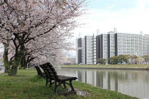 広島市内の川沿いの桜、太田川や本川は歩いて