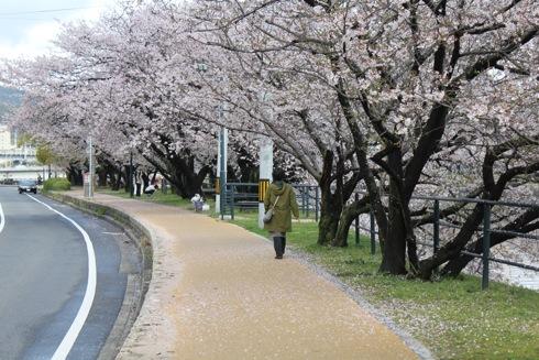 広島市内の川沿いの桜 散歩道 画像5
